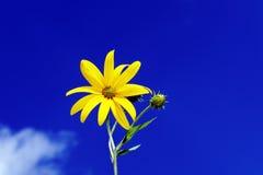 Sunchoke blomma royaltyfria bilder