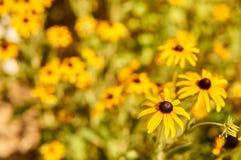Sunchoke yellow flower Royalty Free Stock Photo