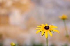Sunchoke yellow flower Royalty Free Stock Photos