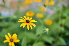 Sunchoke yellow flower Stock Photography
