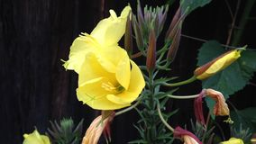 Suncup, evening primrose or also called evening star Oenothera opening its blossom in a few seconds stock video