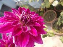 sund blomma för lillfinger fotografering för bildbyråer