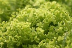 Sund grön grönsallat Arkivbilder