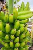 Sund matgrupp av tropisk frukt för banan som riping på banantre Fotografering för Bildbyråer