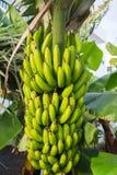 Sund matgrupp av tropisk frukt för banan som riping på banantre Arkivbild
