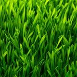 sund modell för gräs Arkivbild