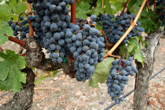 Sund vingård Fotografering för Bildbyråer