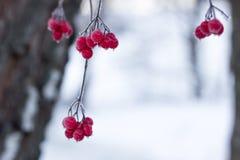 Sunda bär som väntar i skogen Fotografering för Bildbyråer