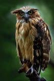 Sunda fishing owl, Ketupa ketupu javanensis, rare bird from Asia. Malaysia beautiful owl in the nature forest habitat. Bird from M Royalty Free Stock Photography