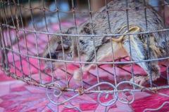 Sunda flygmaki som är till salu i den lösa marknaden på denCambodja gränsmarknaden Den Sunda flygmakin (den Galeopterus variegatu Arkivfoton