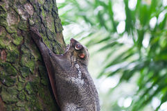 Sunda Flying Lemur. A Sunda flying lemur (Galeopterus variegatus) clings to a tree in the rainforests of Southeast Asia Royalty Free Stock Photography