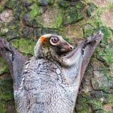 Sunda Flying Lemur. A Sunda flying lemur (Galeopterus variegatus) clings to a tree in the rainforests of Southeast Asia Royalty Free Stock Photos