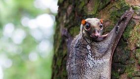 Sunda Flying Lemur. A Sunda flying lemur (Galeopterus variegatus) clings to a tree in the rainforests of Southeast Asia Royalty Free Stock Photo