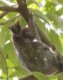 Sunda Flying Lemur On Tree. Sunda Flying Lemur or Sunda Colugo, Galeopterus variegatus, also known as Malayan lemur or Malayan colungo is looking at the Stock Photo