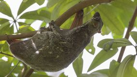 Sunda Flying Lemur On Tree. Sunda Flying Lemur or Sunda Colugo, Galeopterus variegatus, also known as Malayan lemur or Malayan colungo is climbing around the stock photo