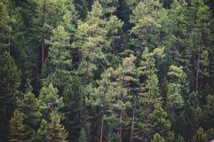 Sunda gröna träd i en skog av den gamla granen, arkivbilder