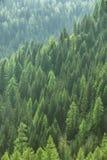 Sunda gröna träd i en skog av den gamla granen, gran och sörjer royaltyfri fotografi