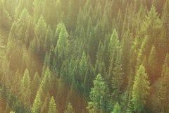 Sunda gröna träd i en skog av den gamla granen, gran och sörjer arkivbild