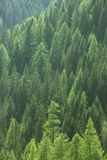 Sunda gröna träd i en skog av den gamla granen, gran och sörjer arkivfoton
