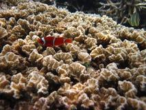 Sunda korallrever Arkivfoton