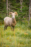Sunda manliga Ram Bighorn Sheep Wild Animal Montana Wildlife royaltyfria bilder