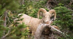 Sunda manliga Ram Bighorn Sheep Wild Animal Montana Wildlife Arkivbilder