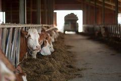 Sunda och lyckliga kor i en ladugård som får någon mat Royaltyfri Foto