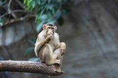 Sunda pig-tailed macaque Stock Photos