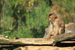 Sunda pig-tailed macaque Royalty Free Stock Photos