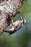 Sunda Pygmy Woodpecker Royalty Free Stock Photos