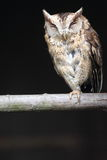 Sunda scops owl Stock Photos