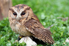 A sunda scops owl at ground Royalty Free Stock Images