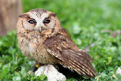 A sunda scops owl at ground Stock Photo