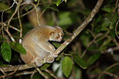Sunda slow loris Stock Image