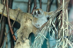 Sunda slow loris. On the tree royalty free stock photo
