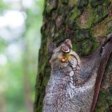 Sunda Vliegende Maki Stock Foto's