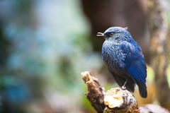 Sunda Whistling Thrush Stock Photography