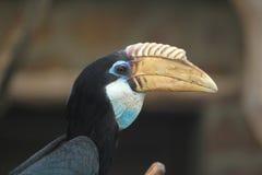 Sunda wrinkled hornbill Stock Image