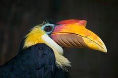 Sunda wrinkled hornbill (Aceros corrugatus). Stock Images