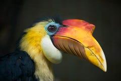 Sunda wrinkled hornbill (Aceros corrugatus). Royalty Free Stock Photography