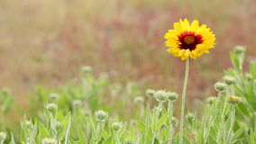 Sundance kwiat w popióle zbiory wideo
