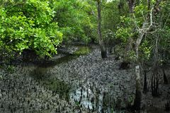 Sundarban photo stock