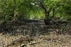 Sundarban royalty-vrije stock fotografie