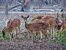 Spotted deer flock at Sundarbans, Bangladesh royalty free stock images
