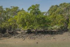Sundarbans Zdjęcia Royalty Free