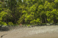 Sundarbans Obrazy Stock