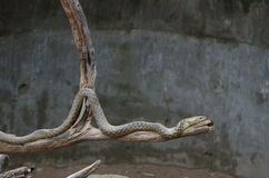 Sundarvan snake. On tree. looking restless stock images