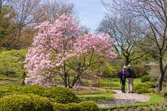 Sunday afternoon at Montreal Botanical Garden. Magnolia trees flowering for Mothers Day at Montreal Botanical Garden. Many bouquets of flowers in one place. And stock photography