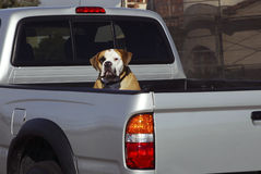 Sunday Drive. Dog in the back of a pick-up truck Stock Photo