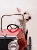 Sunday Driver - Dog driving car Stock Photography